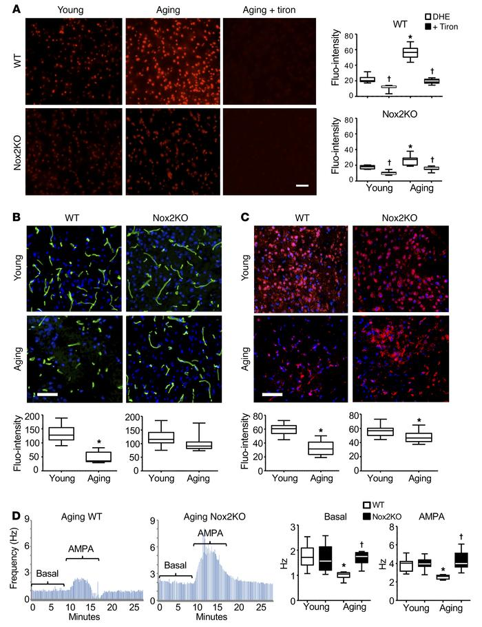 Aging-related changes in WT and Nox2KO mouse midbrains. (A) ROS producti...