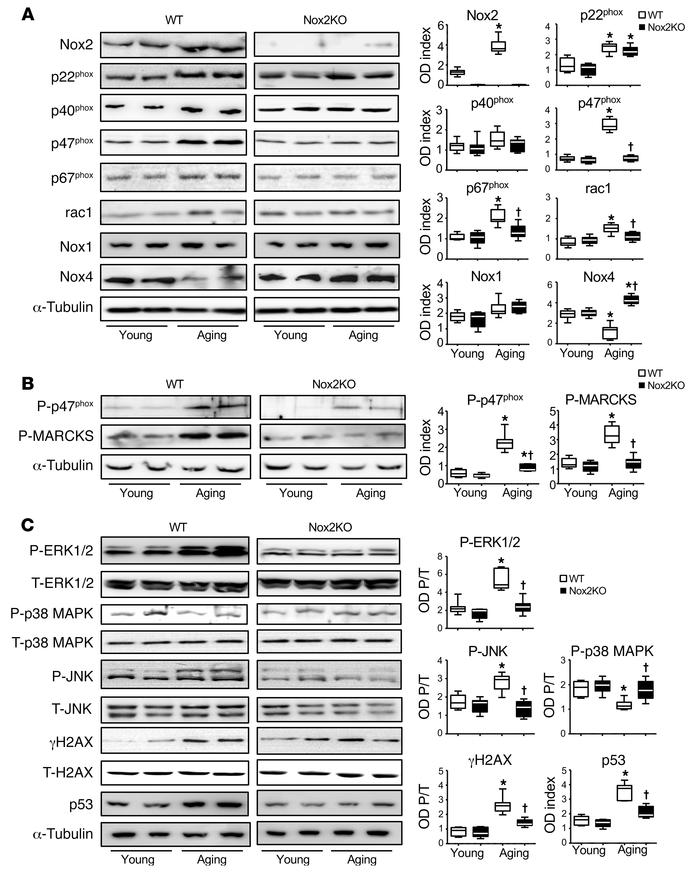 Nox2 subunit expression and activation of stress signaling pathways in m...