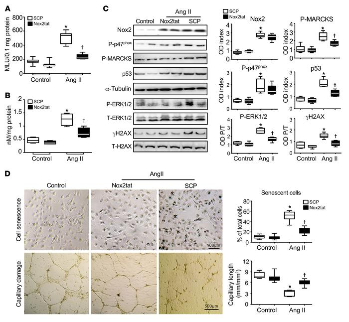 Ang II–induced Nox2 activation in mediating cell senescence and capillar...