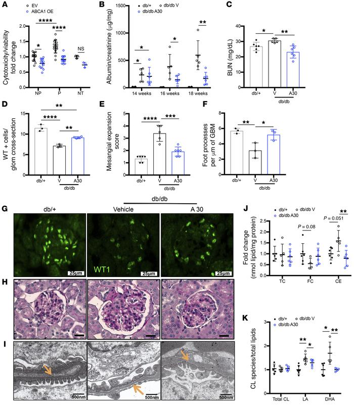 Treatment with an Abca1 inducer (A30) ameliorates podocyte injury and DK...