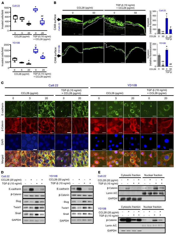 CCL28 inhibits invasion and EMT in OSCC cells. (A) Invasion of Ca9.22 an...