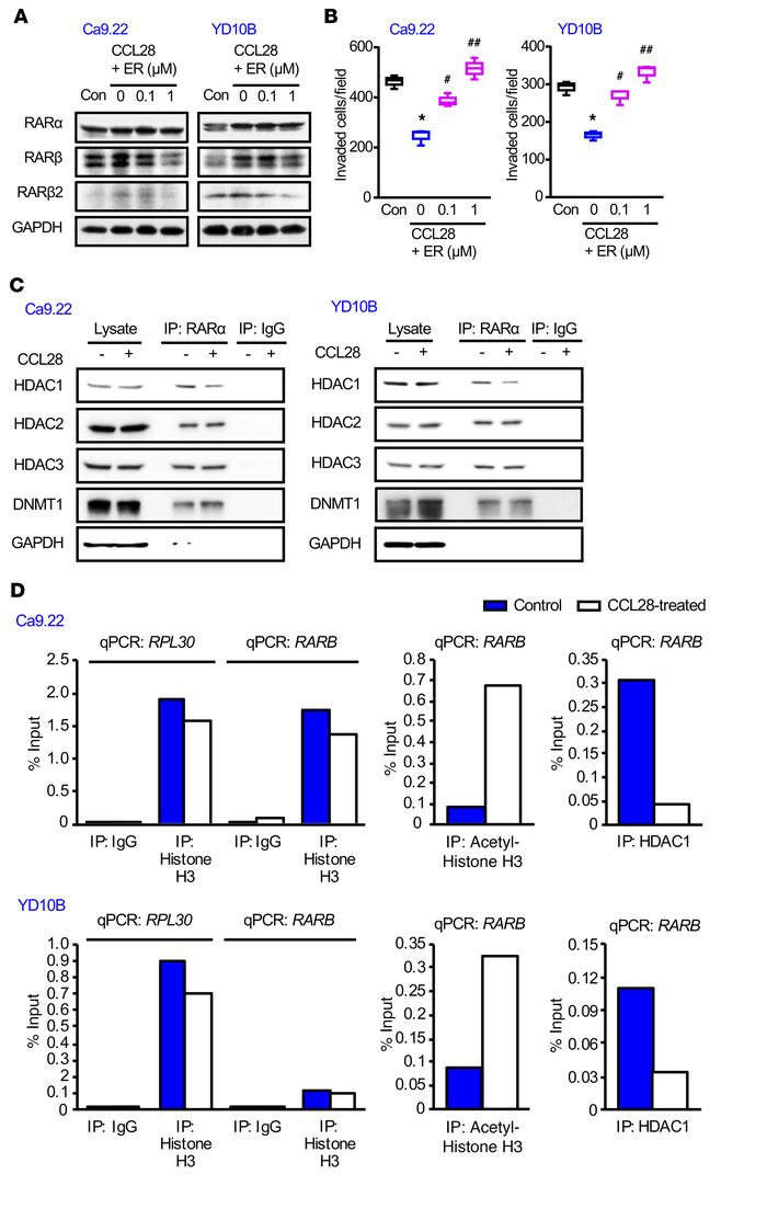 CCL28 upregulates RARβ expression via RARα-mediated transcription by red...