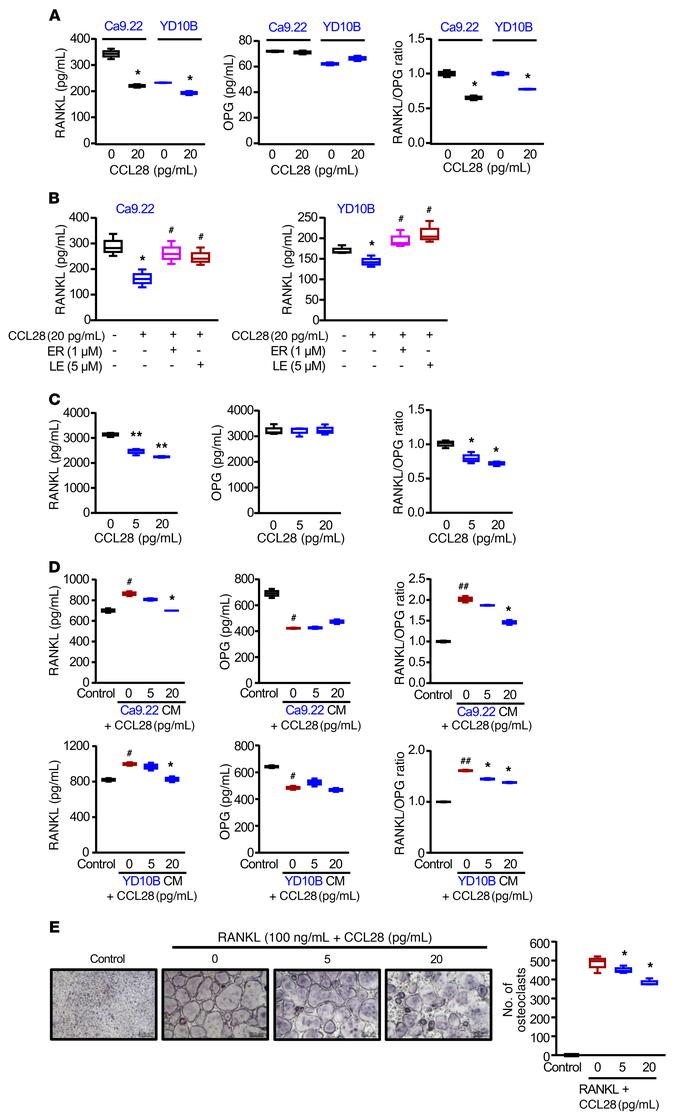 CCL28 treatment reduces the RANKL/OPG ratio in OSCC cells and osteoblast...