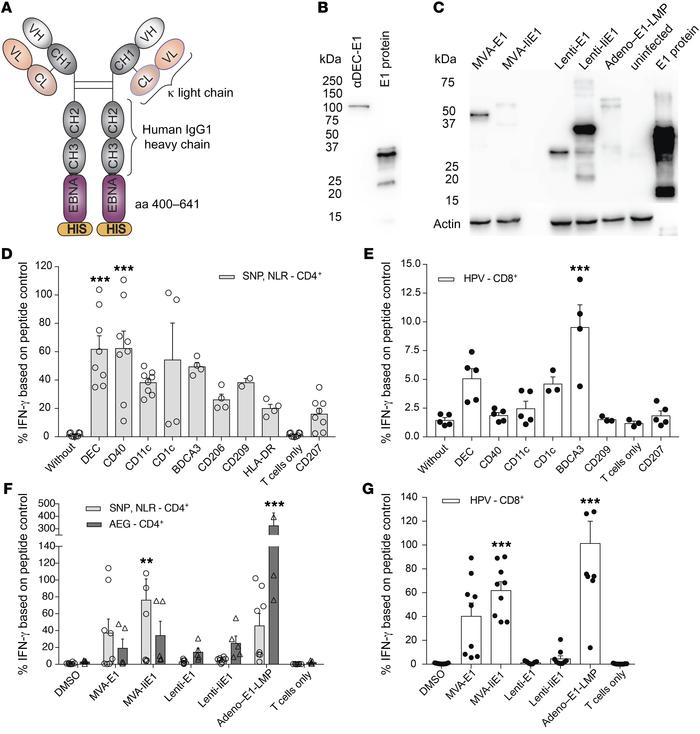 Human CD4+ and CD8+ T cell recognition of EBNA1 carrying or encoding vac...