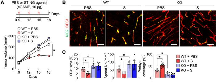 STING signaling pathway regulates tumor angiogenesis. LLC tumor cells we...