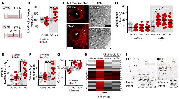 Macrophages are necessary for the effect of AKGs on adipocytes. (A) Sche...