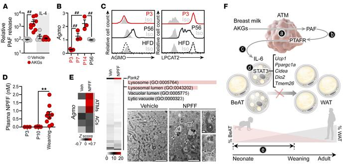 AKG-mediated signaling to adipocytes is inactivated at BeAT/WAT transiti...
