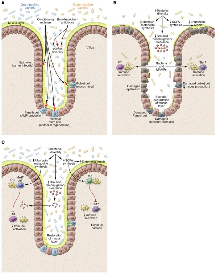 Models of intestinal environments affecting GvHD development. (A) Effect...