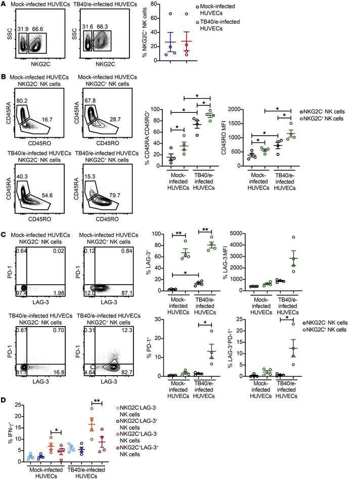 Adaptive NK cells cocultured with HCMV-infected HUVECs upregulate LAG-3 ...