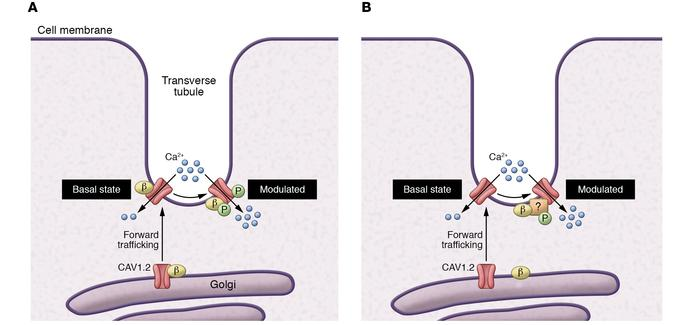 CaVβ2-CaV1.2 interaction is not required for forward trafficking, but is...