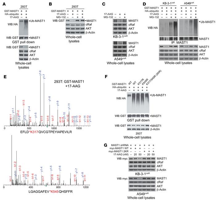 Inhibition of hsp90 induces ubiquitination of MAST1 at lysine 317/545 th...