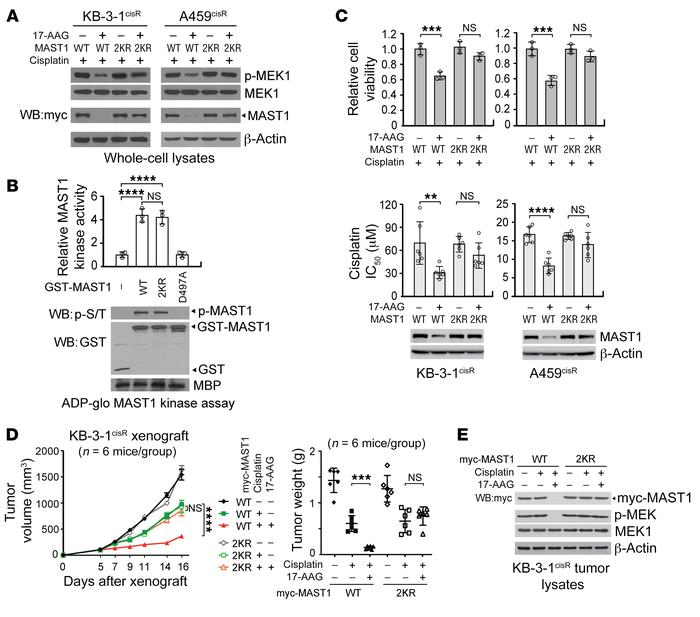 Ubiquitination of MAST1 at K317 and K545 induces MAST1 degradation and c...