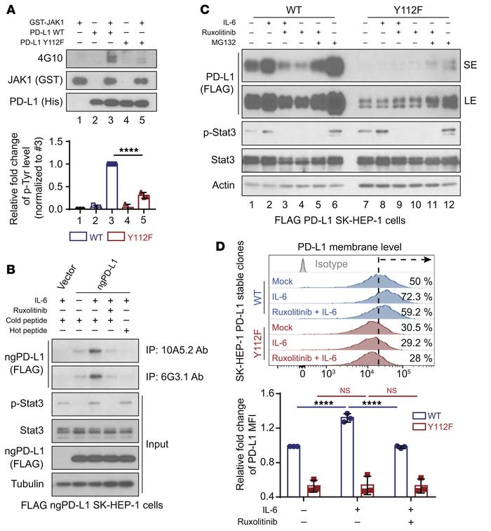 JAK1 phosphorylates PD-L1 at Y112 and upregulates PD-L1 expression. (A) ...