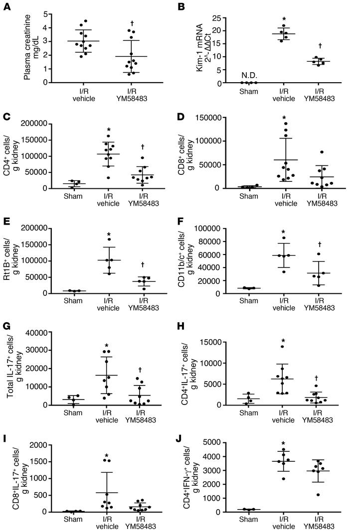 YM58483 pretreatment attenuates renal ischemia reperfusion injury. (A) A...