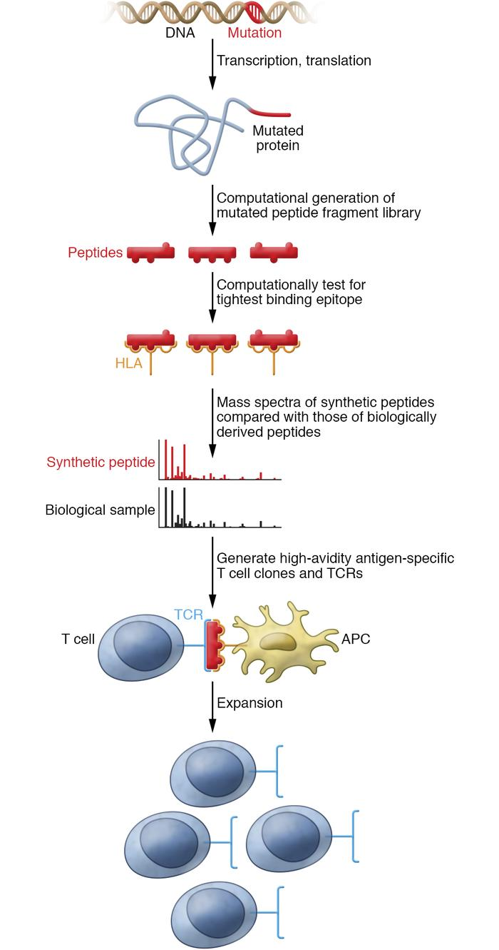 "Developing neoantigen-specific T cells by reverse immunology. For a ""pub..."