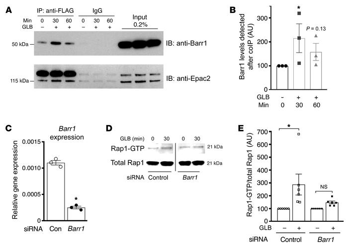 Glibenclamide promotes the interaction of Barr1 with Epac2 and stimulate...