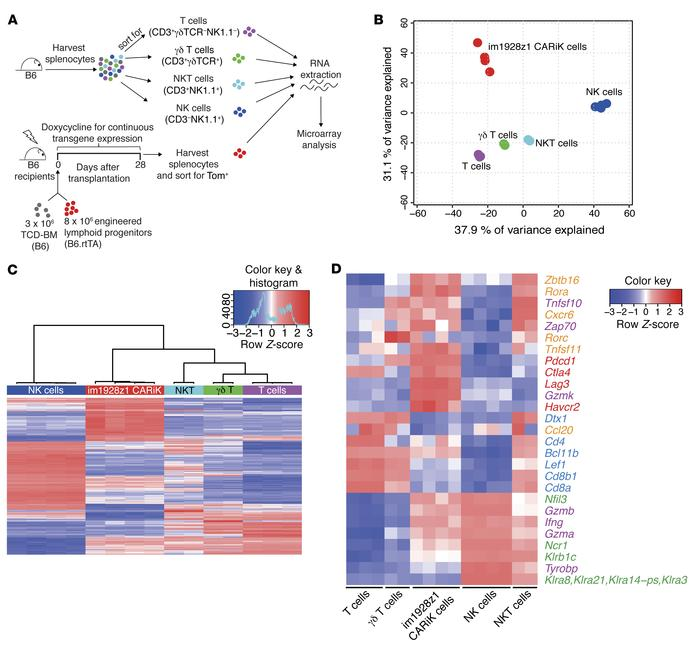 Transcriptional profile analysis locates CARiK cells at the interface of...