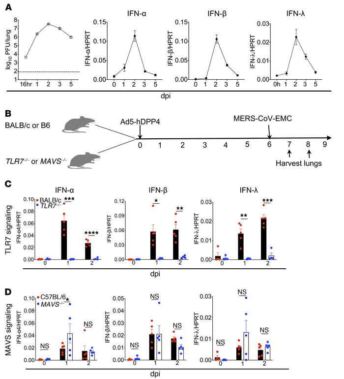 Viral RNA sensing and IFN-I production in MERS-CoV–infected mice. (A) Lu...