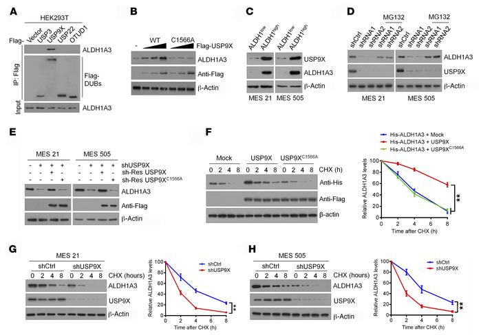 USP9X maintains ALDH1A3 stability. (A) Four Flag-tagged DUBs (USP3, USP9...