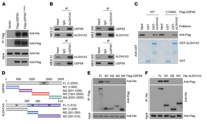 USP9X interacts with ALDH1A3. (A) HEK293T cells were transfected with Hi...