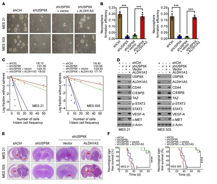 Ablation of USP9X expression impairs the self-renewal, tumorigenicity, a...