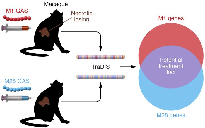 Using TraDIS to assess GAS myositis gene fitness in cynomolgus macaques....