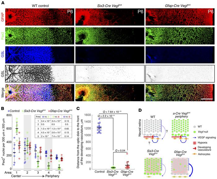 Loss of astrocyte-derived VEGF eliminates radial EC migration during ret...