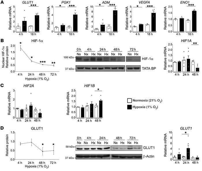 Prolonged experimental hypoxia results in attenuated HIF signaling in es...