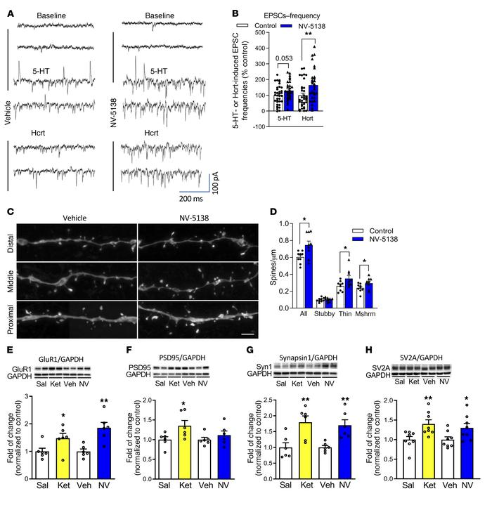 Influence of NV-5138 on spine number and function and synaptic proteins ...