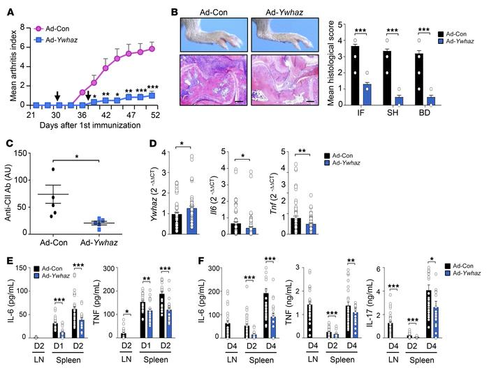 Ad-Ywhaz inhibition of CIA in mice. (A) Arthritis severity measured at 2...