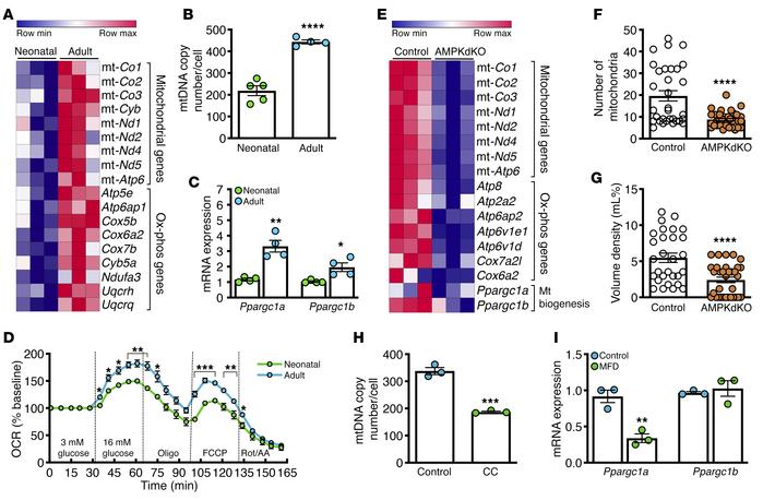AMPK activation triggers a switch to oxidative metabolism in mature isle...