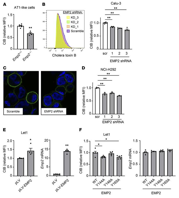 EMP2 deletion depletes lipid rafts in epithelial cells. (A) Primary alve...