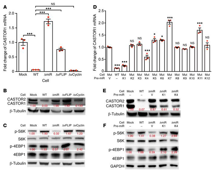 Pre–miR-K1 and -K4 mediate KSHV downregulation of CASTOR1 and activation...