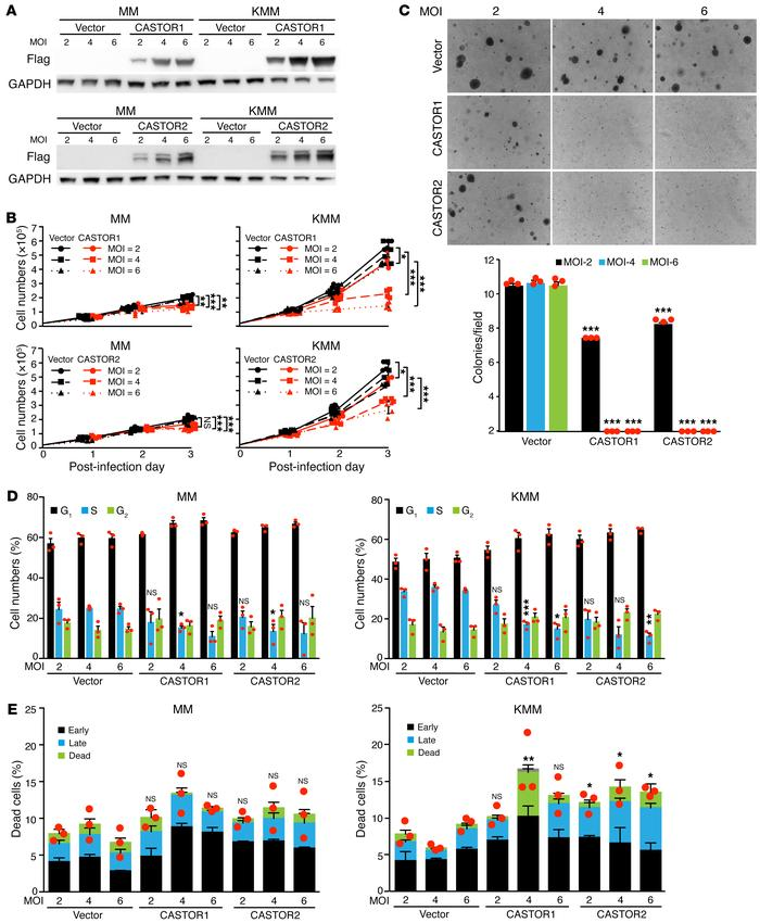 CASTOR1 and CASTOR2 inhibit proliferation and cellular transformation of...