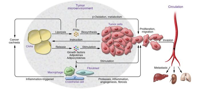 Mechanisms of cancer-associated adipocytes in tumor growth, metastasis, ...