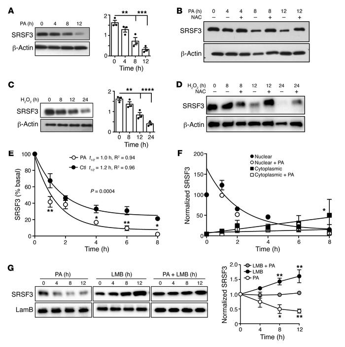 Reduction in SRSF3 protein in response to excess lipid and oxidative str...
