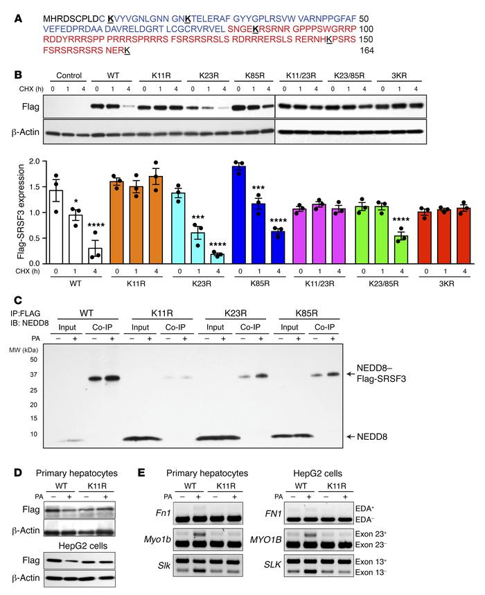 Mutation of lysine 11 prevented SRSF3 protein degradation. (A) Amino aci...