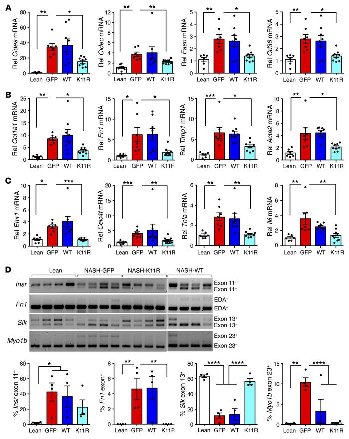 Degradation-resistant SRSF3-K11R attenuated expression of genes involved...