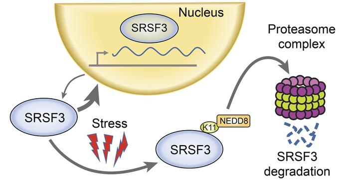 Model of SRSF3 protein degradation. SRSF3 shuttles between the nucleus a...