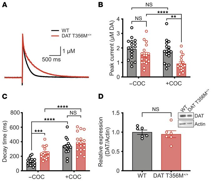 The DAT T356M mutation impairs striatal DA reuptake while maintaining no...