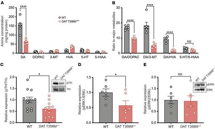 The DAT T356M mutation drives increased striatal DA metabolism and reduc...