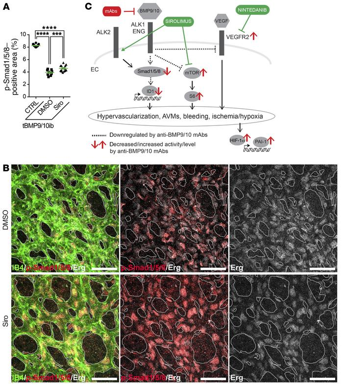 Siro rescues Smad1/5/8 signaling in the tBMP9/10ib retina. (A) Scatter p...