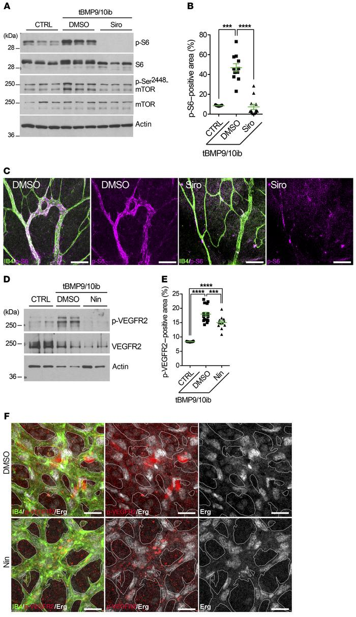 Siro prevents mTOR overactivation, and Nin blocks overactivated VEGFR2 i...
