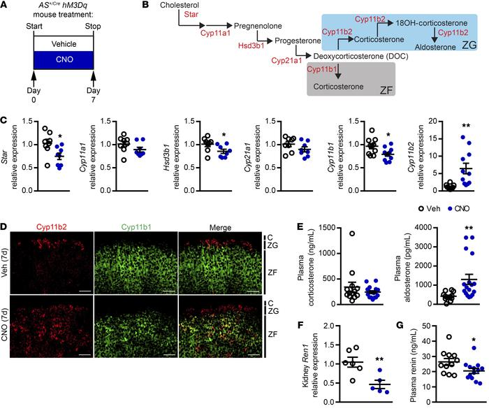 CNO activation of adrenal hM3Dq upregulates Cyp11b2 expression and aldos...