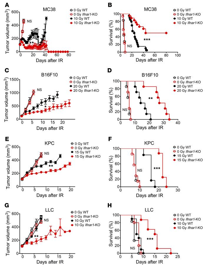 Ifnar1 KO in cancer cells enhances tumor response to IR. Tumors in C57B...
