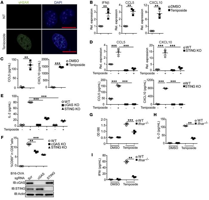 Teniposide activated cGAS/STING-dependent IFN-I signaling in tumor cells...