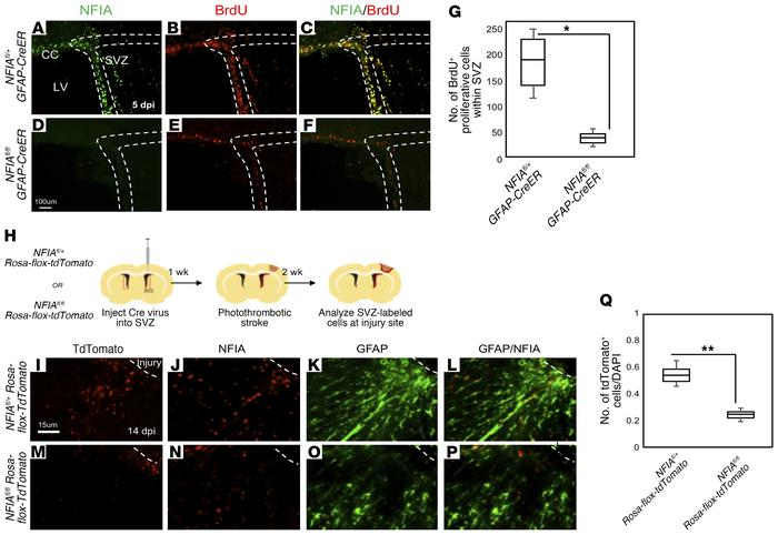 Selective deletion of NFIA in the SVZ impairs reactive astrocyte product...
