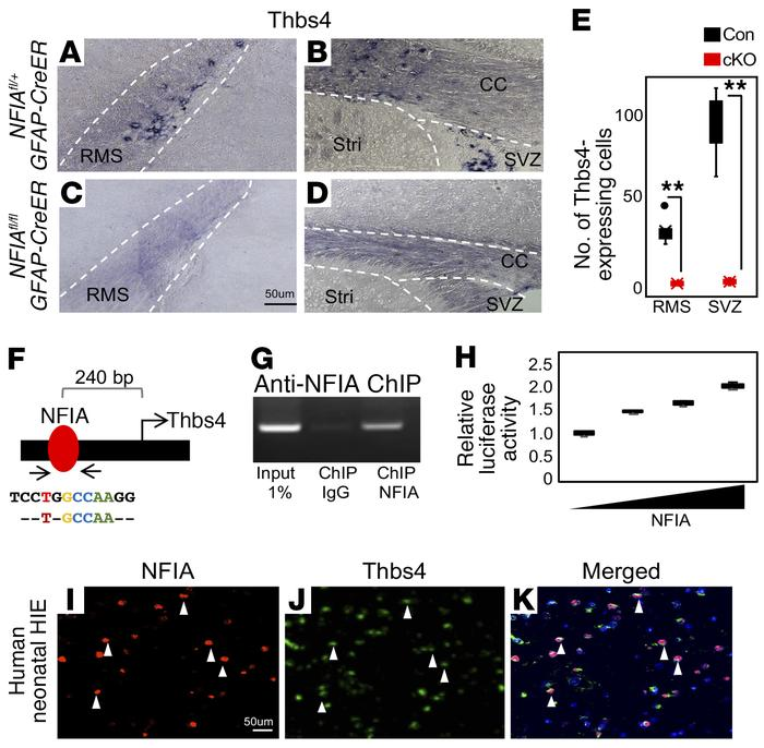 NFIA directly regulates the expression of Thbs4. (A–D) Deletion of NFIA ...