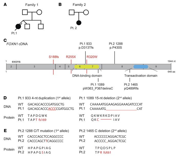 Compound heterozygous mutations in FOXN1 identified in 2 patients. (A an...