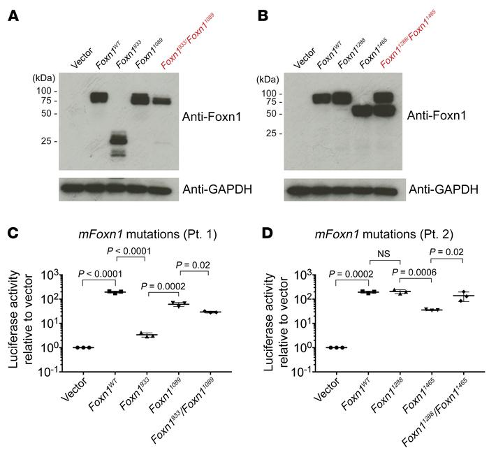 Functional impairment of Foxn1 is dependent on the location and type of ...